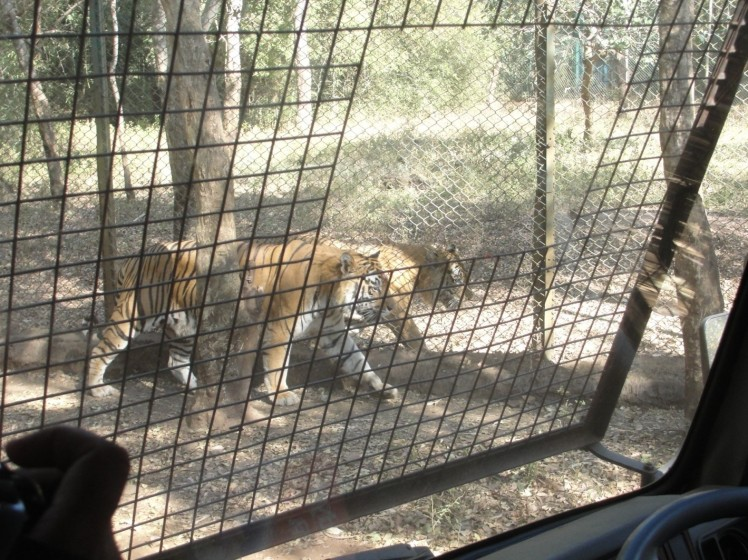 tiger safari shimoga-1
