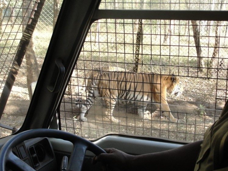 tiger safari shimoga-2
