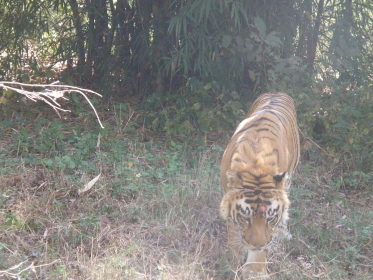 tiger safari shimoga-4